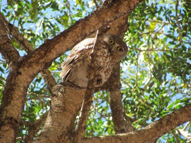 Barking Owl (10)