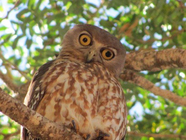 Barking Owl (4)