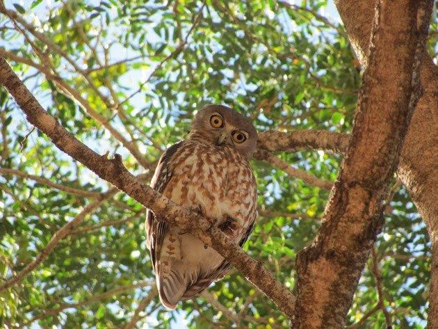 Barking Owl (5)