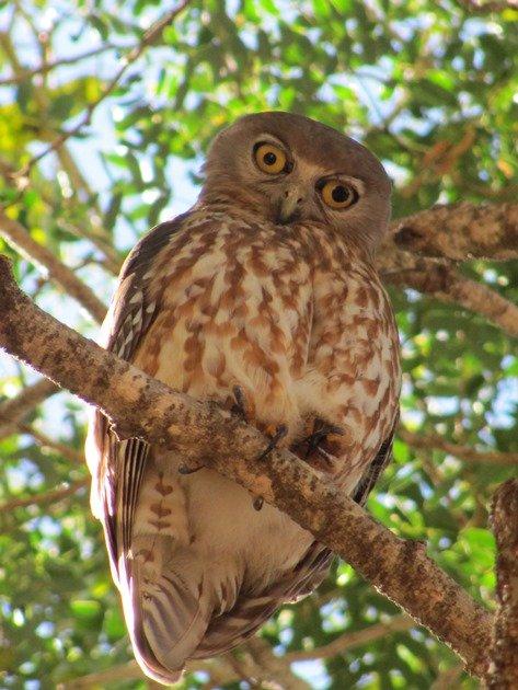 Barking Owl (6)