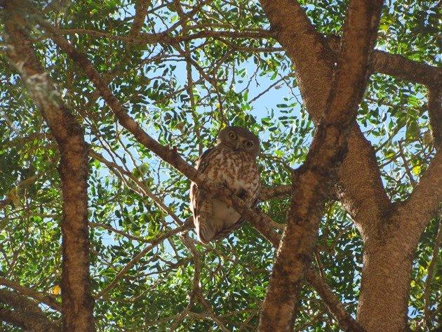 Barking Owl (7)