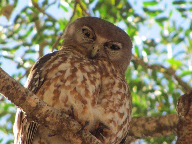 Barking Owl (9)