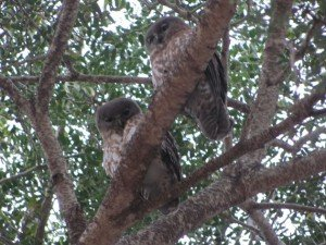 Barking Owls (2)