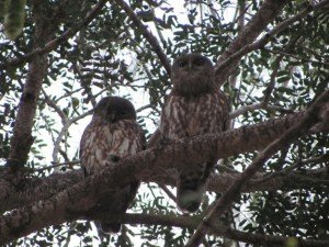 Barking Owls (4)