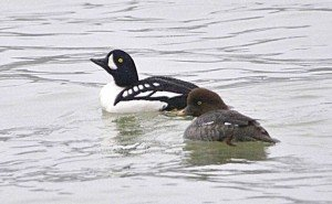 Barrows_Goldeneye_Pair