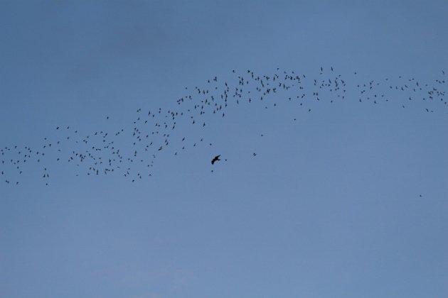 Bat hawk (630x420)