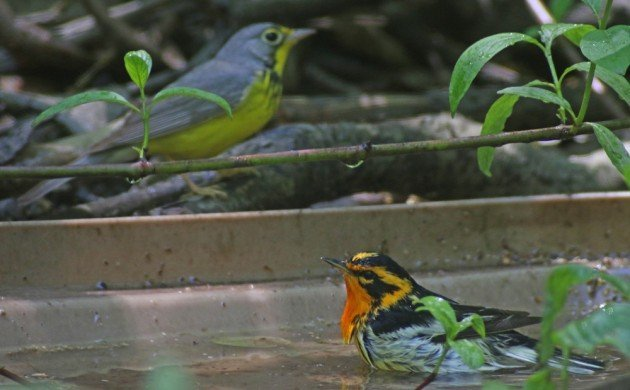 Bathing Blackburnian Warbler