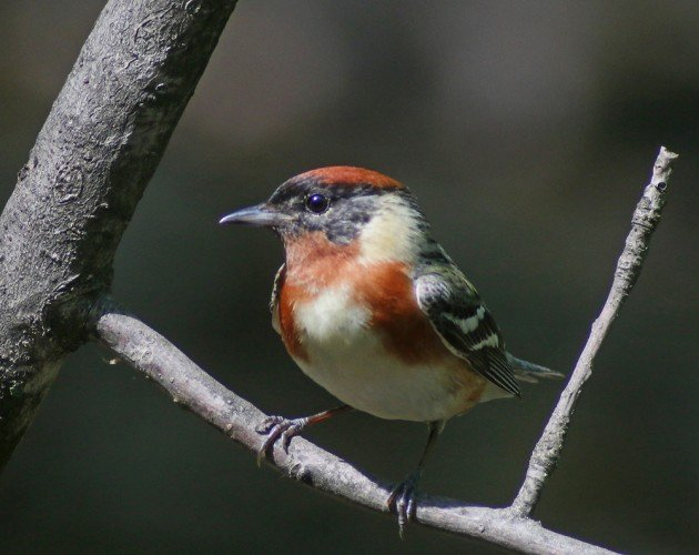Bay-breasted Warbler Setophaga castanea