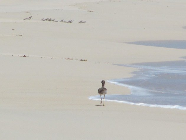 Beach Stone-curlew & Sanderling