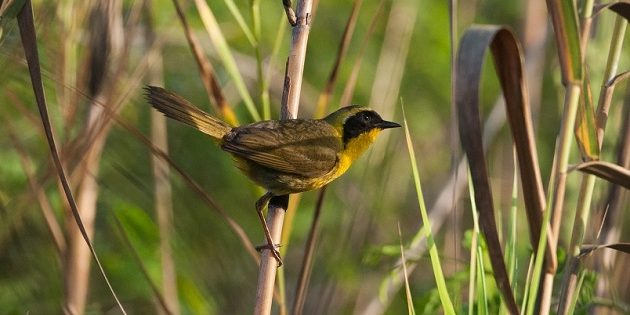Belding's Yellowthroat, Endemic and Endangered!