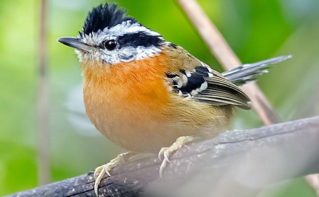 Bertonis Antbird