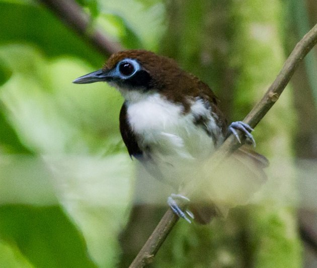 Bicolored Antbird by Josh Beck