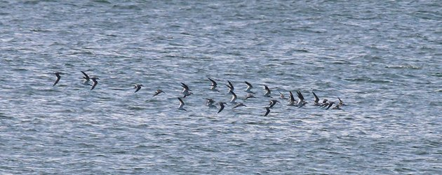 Big Sit Black Skimmers