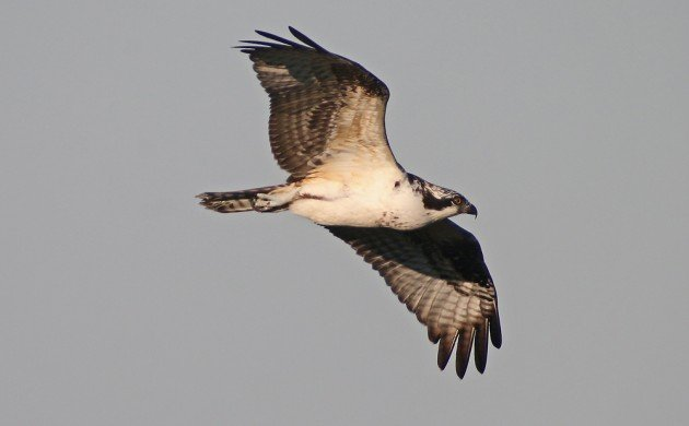 Big Sit Osprey
