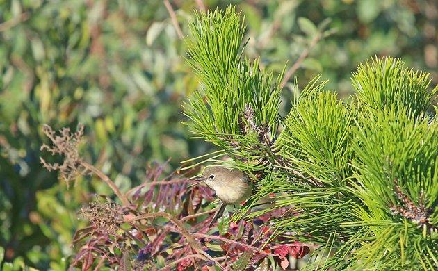 Big Sit Pine Warbler