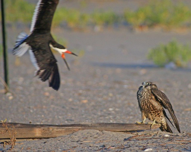 Black Skimmer making a Peregrine flinch