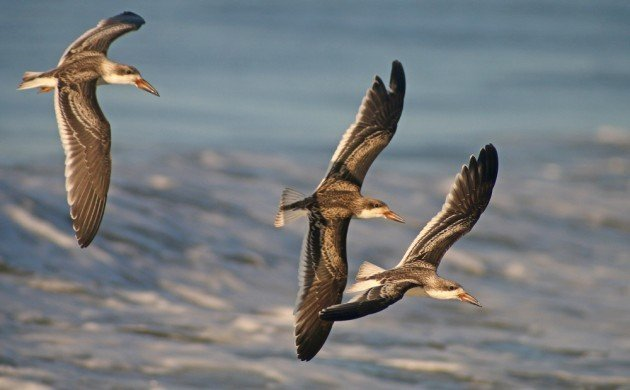 Black Skimmer youngsters in flight