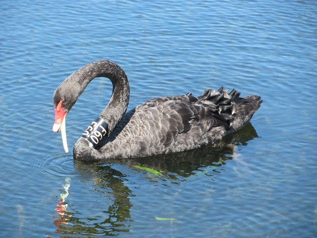 Black Swan F60