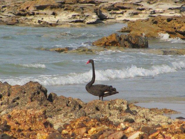 Black Swan-Indian Ocean (2)