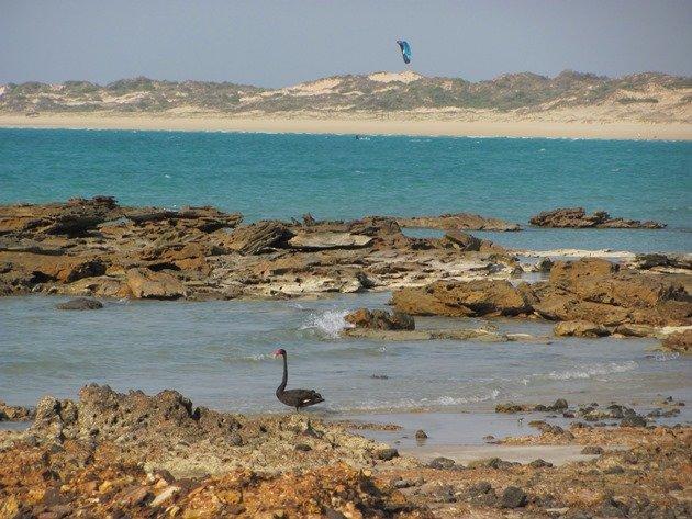 Black Swan-Indian Ocean (3)