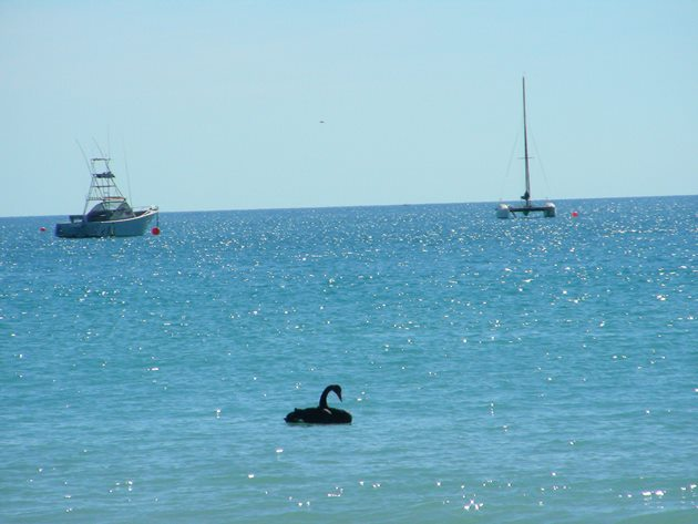 Black Swan-Indian Ocean