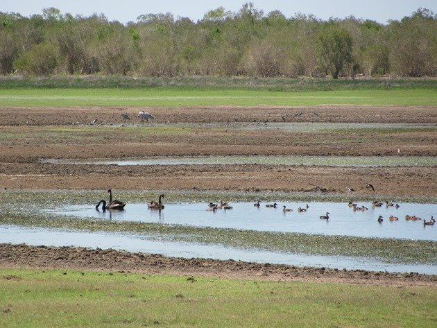 Black Swans, Brolga & Ducks