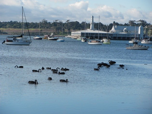 Black Swans Geelong
