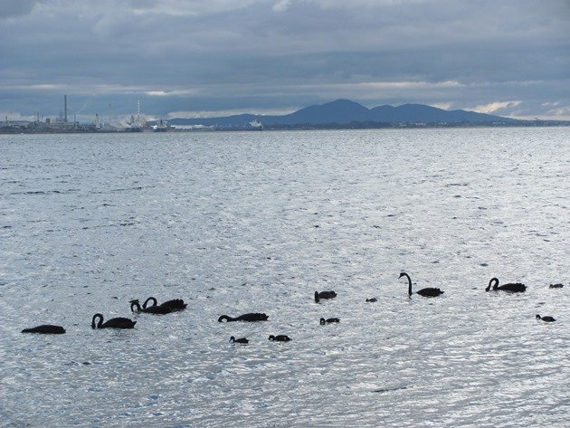 Black Swans & You Yangs