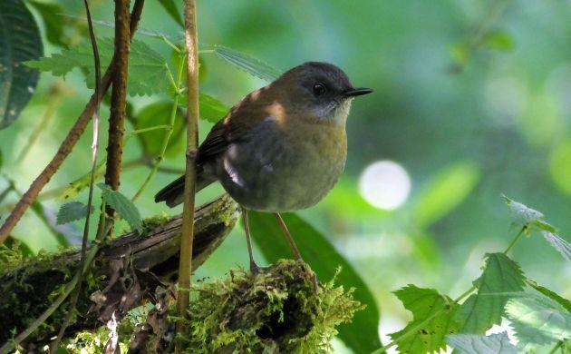 Black billed Nightingale Thrush