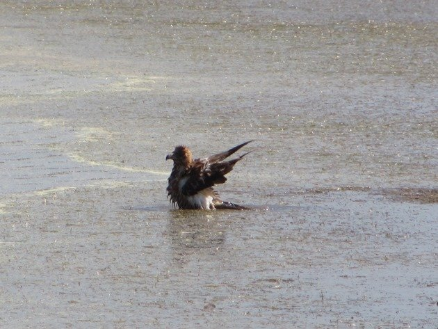 Black-breasted Buzzard bathing (5)