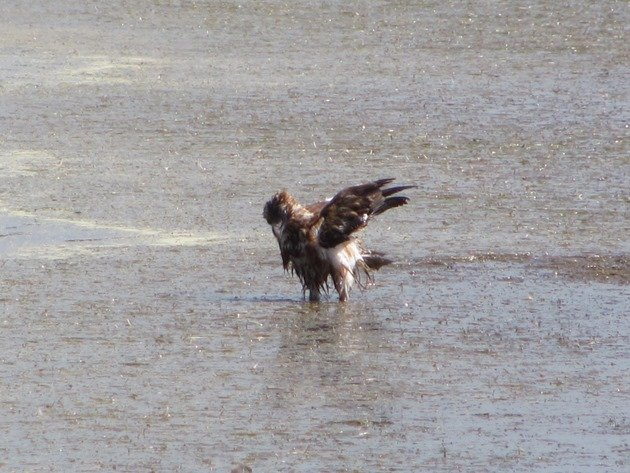 Black-breasted Buzzard bathing (7)