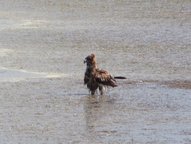 Black-breasted Buzzard bathing (8)