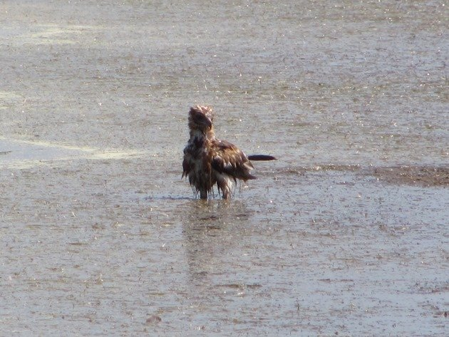 Black-breasted Buzzard bathing (9)