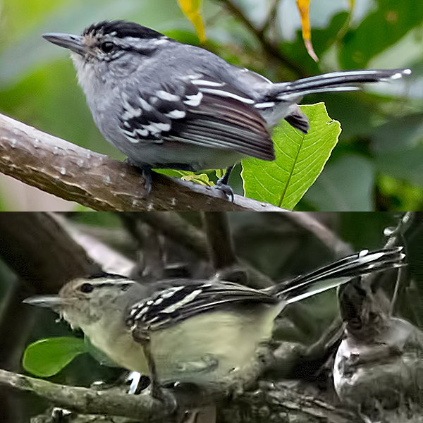 Black-capped Antwren Male-and-Female