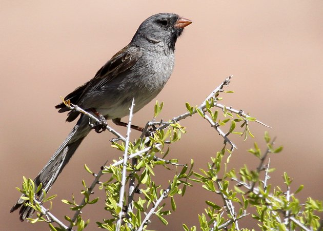 Black-chinned Sparrow Spizella atrogularis