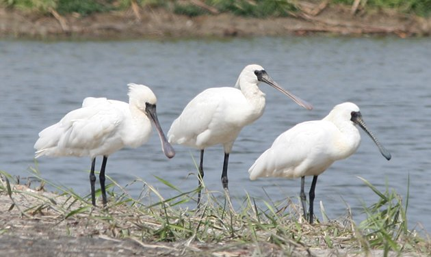 Black-faced Spoonbills