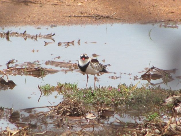 Black-fronted Dotterel (2)