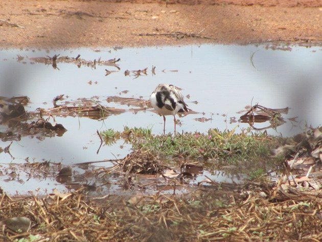 Black-fronted Dotterel (3)