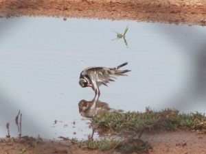 Black-fronted Dotterel (4)