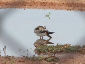 Black-fronted Dotterel (5)