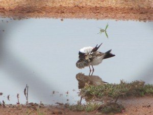 Black-fronted Dotterel (6)