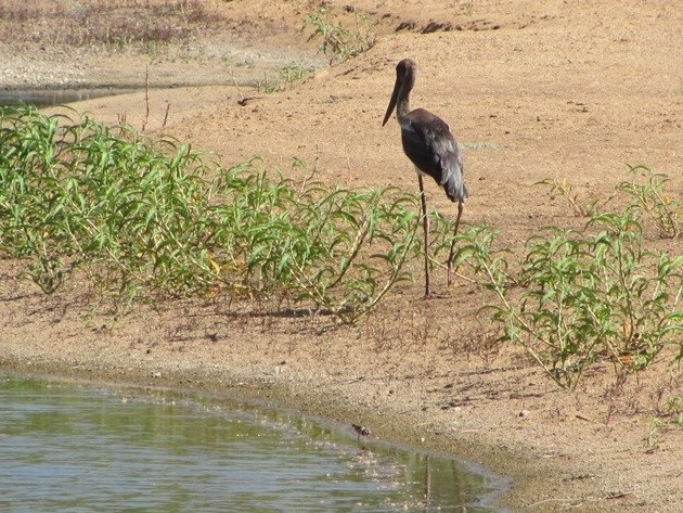 Black-necked Stork & Black-fronted Dotterel