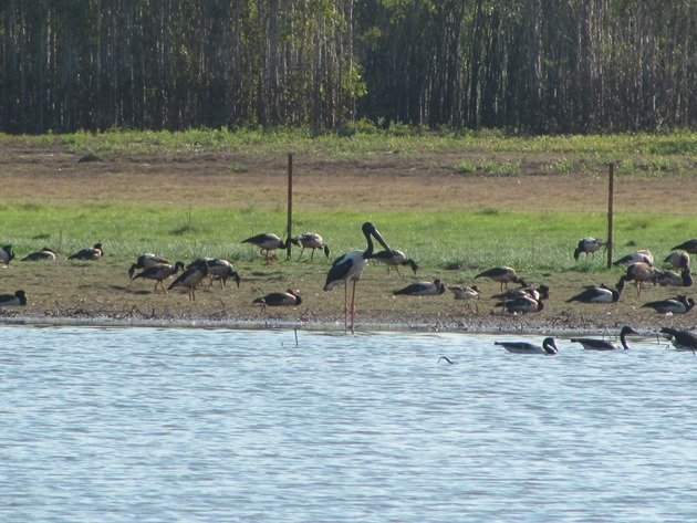 Black-necked Stork & Magpie Geese