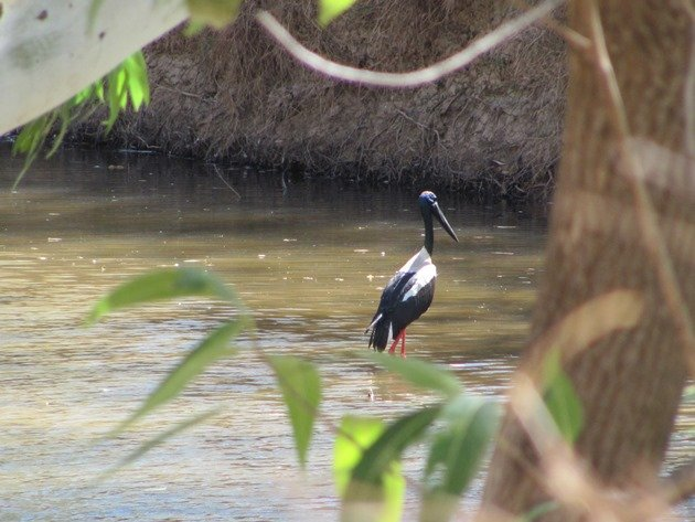 Black-necked Stork