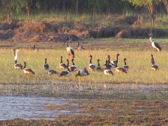 Black-necked Storks & Magpie Geese (2)