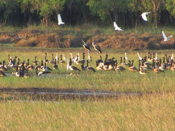 Black-necked Storks & Magpie Geese