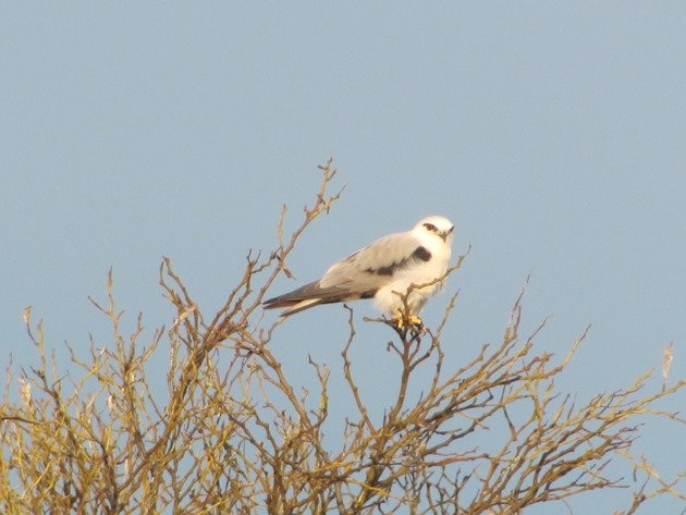 Black-shouldered Kite (2)