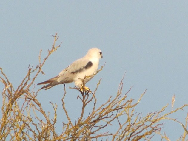 Black-shouldered Kite (4)