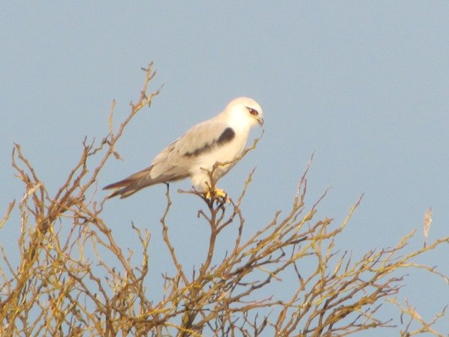 Black-shouldered Kite (5)