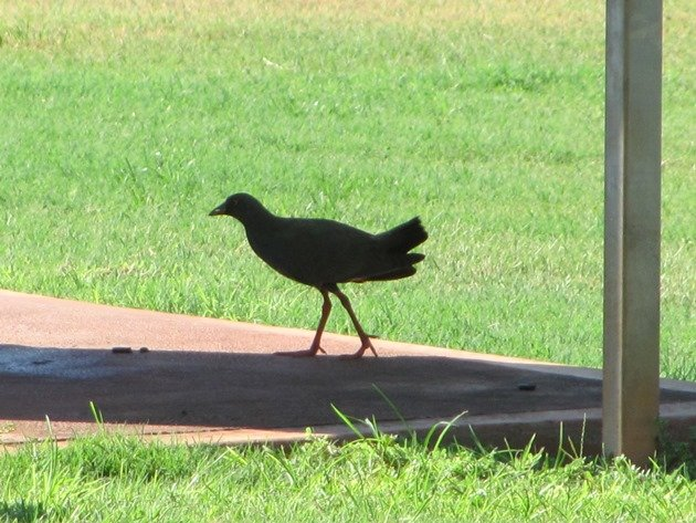 Black-tailed Native-hen (2)